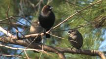 Brown-Headed Cowbird Male And Females Perched On Branches