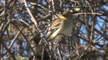 American Goldfinch Perched On Branch
