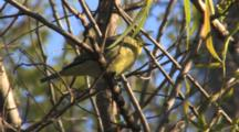 Orange-Crowned Warbler Calling While Perched