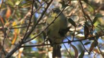 Orange-Crowned Warbler Perched & Foraging