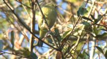Orange-Crowned Warbler Perched & Foraging