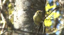 Orange-Crowned Warbler Foraging & Calling