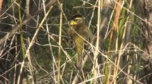 Palm Warbler Preening & Stretching Wings & Tail