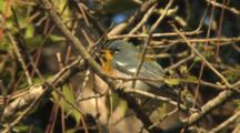 Northern Parula Perched In Tree, Singing