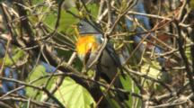 Northern Parula Singing On Breeding Grounds