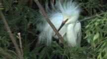 Snowy Egret Bobbing & Calling In Mating Display