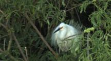 Snowy Egret In High Breeding Plumage Shaking Feathers