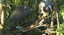 Tricolored Herons At Nest With Eggs