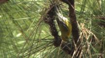 Pine Warbler Foraging In Pine Tree