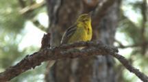 Pine Warbler Singing On Breeding Grounds