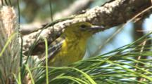 Pine Warbler In Pine Tree