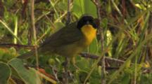 Bahama Yellowthroat Calling & Foraging