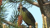 Kirtland's Warbler Singing On Breeding Grounds
