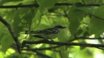 Cerulean Warbler Singing On Breeding Grounds