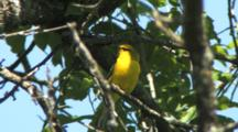 Blue-Winged Warbler Singing On Breeding Grounds