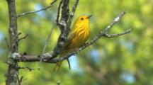 Yellow Warbler Singing On Breeding Grounds