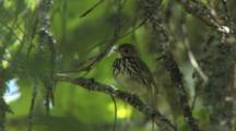 Ovenbird Singing On Breeding Grounds