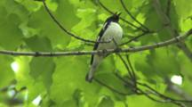Black-Throated Blue Warbler Singing On Breeding Grounds