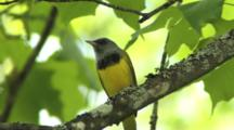 Mourning Warbler Singing On Breeding Grounds