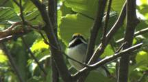 Golden-Winged Warbler Singing On Breeding Grounds