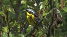 Magnolia Warbler Singing On Breeding Grounds