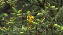 Cape May Warbler Singing On Breeding Grounds