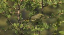 Orange-Crowned Warbler Singing On Breeding Grounds