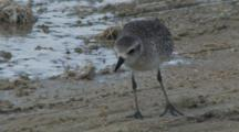 Black-Bellied Plover Foraging On Shoreline