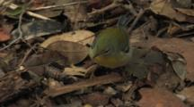 Northern Parula Foraging On Leaf Litter