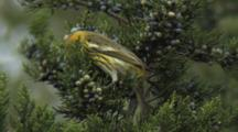 Cape May Warbler Foraging In Cedar Tree