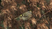 Golden-Crowned Kinglet Foraging In Dead Cedar Branch