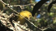 Yellow Warbler Eating A Moth