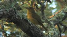 Summer Tanager Eating Dragonfly