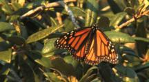 Monarch Butterfly Slowly Opens Wings After Resting