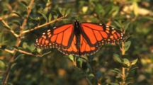 Monarch Butterfly Holds Wings Spread While Resting