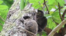 Pair Of Flying Nemur Moving Slowly	Philippine Flying Lemur (Cynocephalus Volans) Male And Female Hangning From A Tree Vertically And Moving Slowly During A Intermitent Nap In The Wild.