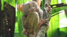 Philippines Tarsier (Tarsius Syrichta) Calmly Cleaning And Grooming Perched In A Tree Branch.