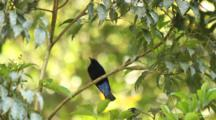 Asian Fairy-Bluebird (Irena Puella) Jumping And Standing On A Tree Branch With Green Leaves In The Background.