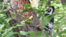 Female White-Backed Woodpecker (Dendrocopos Leucotos) Breaking Pieces Of Dead Wood And Feeding On Small White Larva.