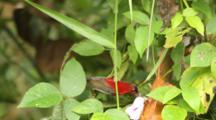 Crimson Sunbird (Aethopyga Siparaja) Eating The Nectar Off A Pink Flower And Jumping Between Leaves And Branches