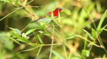 Crimson Sunbird (Aethopyga Siparaja) Feeding And Jumping On Top Of Small Branch To Look Curiously Into The Camera