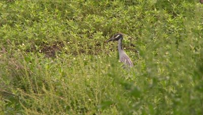 The Yellow-crowned Night-Heron stands in the grass