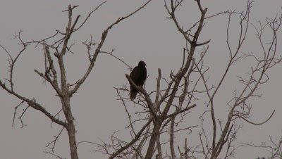 Turkey Vulture perched in a tree