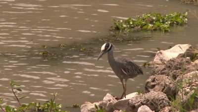 Yellow-crowned night-heron standing near the water