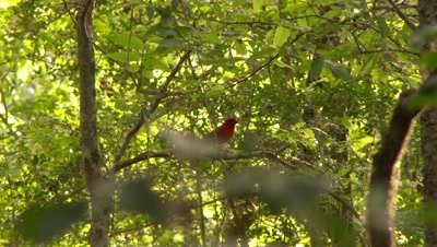 Northern Cardinal perched in a tree and then flies away