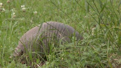Nine-banded Armadillo walking through a grassy field and looking for food