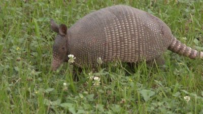 Nine-banded Armadillo walking through a grassy field and sniffing all around