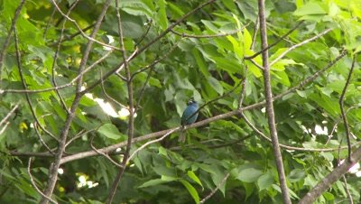 A small blue bird, possibly an Indigo Bunting, sitting on the branch