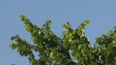 A small bird, possibly a Hooded Oriole, perched on a tree