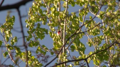 A bird, possibly a Rose-breasted Grosbeak, perched in a tree
